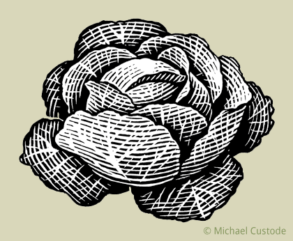 Woodcut-style illustration of a head of cabbage.